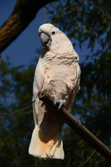 Free Pink Cockatoo Stock Photography - 18300632