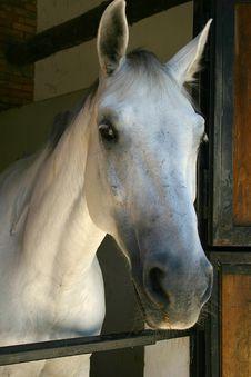 Free White Horse Stock Photo - 18301040