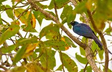 Free The Long-tailed Glossy Starling Stock Images - 18301054