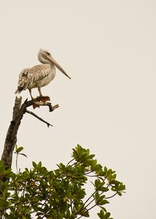 Free A Pink-backed Pelican On Top Of A Tree Royalty Free Stock Photography - 18301067