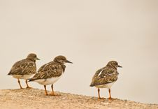 Free Three Rudy Turnstone Stock Photo - 18301070