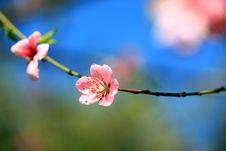 Free Apricot Bloom Stock Photography - 18301172