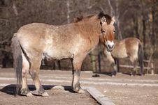 Free Dzungarian Horse Stock Photography - 18302162