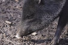 Collared Peccary Detail Stock Photography