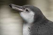 Free Humboldt Penguin Detail Stock Photos - 18302873