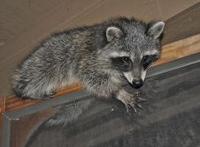 Free Raccoon On Door Frame Stock Photo - 18303310