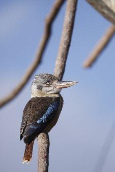 Free Blue-winged Kookaburra Royalty Free Stock Image - 18303426