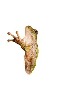 Free Tree Frog Clinging To A Corner Royalty Free Stock Photos - 18308028