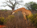 Free Giraffe On The Savannah Stock Images - 18316264