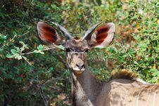 Free Greater Kudu Male (Tragelaphus Strepsiceros) Stock Image - 18313391