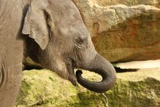 Free Little Elephant Drinking With Its Trunk Royalty Free Stock Photo - 18314535