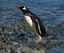 Free Gentoo Penguin Washing Stock Photo - 18316430