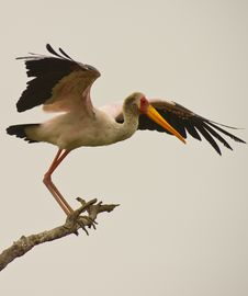Free A Yellow-billed Stork Taking Off Royalty Free Stock Photos - 18317108