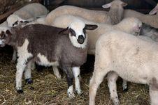 Free Lambs Stock Image - 18317381