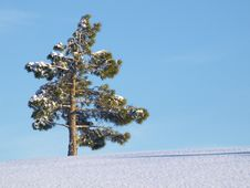Free Solitary Pinetree In Winter Royalty Free Stock Image - 18317696