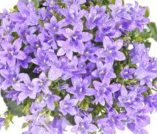Free Bell Flowers - Platycodon Grandiflorum Stock Images - 18317704