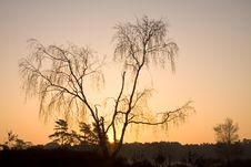Free Birch At Sunrise Royalty Free Stock Photography - 18318307