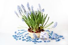 Free Grape Hyacinth Stock Photography - 18318362