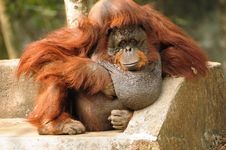 Free Orangutan Resting Stock Photos - 18319903
