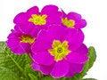 Free Primula Stock Image - 18320111
