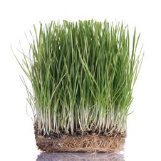 Free Green Wheat Sprouts Royalty Free Stock Photography - 18322527