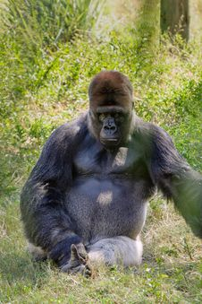 Intimidating Western Lowland Gorilla Stock Images