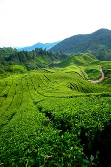 Free Tea Plantation, Cameron Highlands Stock Image - 18323311