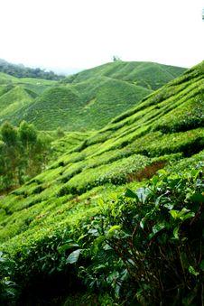 Free Tea Shrubs In Plantation Stock Images - 18323344