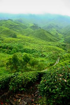 Free Tea Valley, Cameron Highlands Royalty Free Stock Images - 18323399