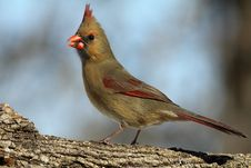 Free Female Cardinal Royalty Free Stock Photography - 18323477