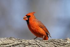Free Male Cardinal Stock Photos - 18323483
