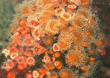 Orange Sea Urchins Stock Image