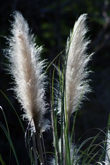 Free Pampas Grass Plumes Royalty Free Stock Photography - 18324177