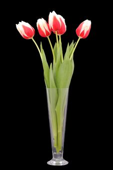 Free Red Tulips In Vase Isolated Stock Photo - 18324830