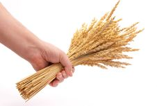 Free Hand Hold Wheat Ears Stock Images - 18324904