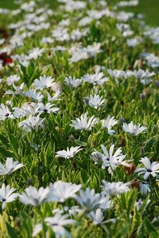 Free White Daisies Park Stock Images - 18324934