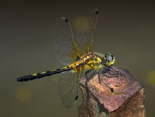 Free Dragonfly Royalty Free Stock Images - 18324969