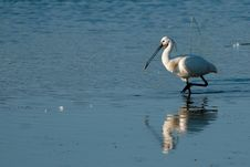 Spoonbill In Water In Summer Royalty Free Stock Photo