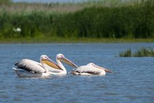 Free Great White Pelicans On Water Royalty Free Stock Photos - 18327698