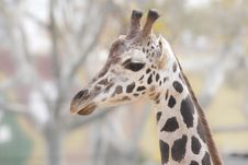 Free Giraffe Portrait Royalty Free Stock Photography - 18327747