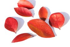 Free Red Leaves Royalty Free Stock Photo - 18328025