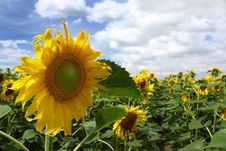 Sunflowers Against The Blue Sky Stock Images