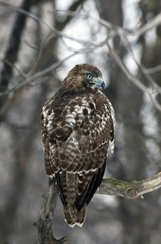 Free Red Tailed Hawk (Buteo Jamaicensis) Royalty Free Stock Photo - 18328865