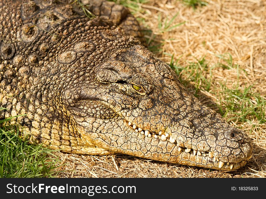 Crocodile close-uo