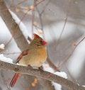 Free Northern Cardinal, Cardinalis Cardinalis Royalty Free Stock Photos - 18330168