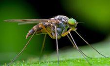 Free Long-legged Fly Stock Image - 18330681