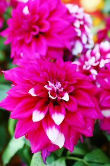 Free Dahlia Royalty Free Stock Photos - 18331178