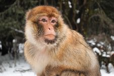 Free Monkey Royalty Free Stock Photos - 18333228