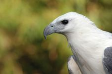 Free White Bellied Sea Eagle Royalty Free Stock Image - 18333386
