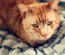 Free Orange Cat On A Blue Blanket Royalty Free Stock Photos - 18333638